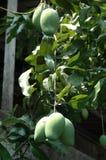 Grupp av gröna mango Royaltyfri Bild
