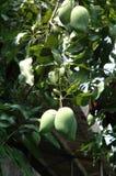 Grupp av gröna mango Arkivbild