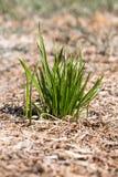 Grupp av grönt gräs Begreppet av överlevnad och välstånd Royaltyfri Fotografi