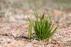 Grupp av grönt gräs Begreppet av överlevnad och välstånd Arkivbild