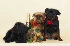 Grupp av Griffon Bruxellois hundkapplöpning Arkivfoto