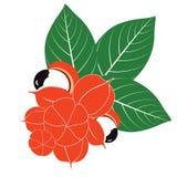 Grupp av Guarana frukter och sidor Royaltyfria Bilder