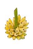 Grupp av gula bananer på stjälk Arkivfoton