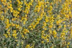 Grupp av gula blommor royaltyfria foton