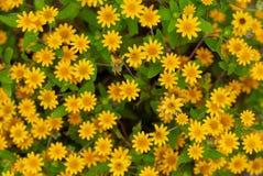 Grupp av gula blommor i blommaträdgården royaltyfri foto