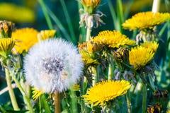Grupp av gula maskrosblommor och blowball Royaltyfria Bilder