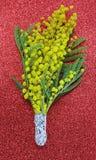 Grupp av gula mimosor i blomningen för de internationella kvinnorna Arkivfoto