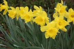 Grupp av gula påskliljor i trädgården Arkivfoton