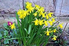 Grupp av gula vårpåskliljor royaltyfri fotografi