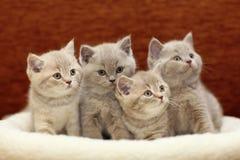 Grupp av gullig grå britt Royaltyfria Foton