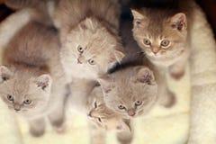 Grupp av gulliga gråa brittiska kattungar Arkivbild