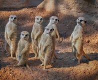 Grupp av gulliga stående meerkats (Suricatasuricataen) Arkivfoto