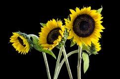 Grupp av härliga solrosor på svart bakgrund: Inklusive snabb bana Royaltyfri Bild