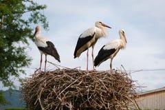 Grupp av härliga vita storkar i ett rede royaltyfri fotografi