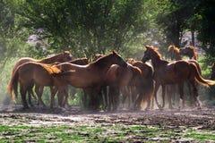 Grupp av hästar som dricker från en vattenho på den lantliga ranchen Arkivbild