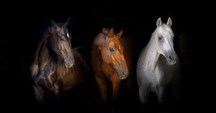 Grupp av hästståenden på svart Fotografering för Bildbyråer