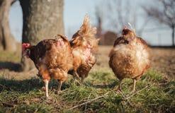Grupp av hönor som matar på ladugårdgård på solnedgång Bruna hönor som söker efter mat i lantgårdgård Hönor som står och går på g royaltyfri bild