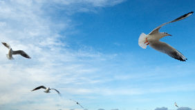 Grupp av havsfiskmåsar Fotografering för Bildbyråer