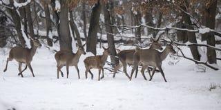 Grupp av hindar på kvinnlig för röda hjortar för snö Arkivbilder