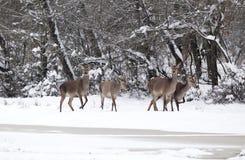 Grupp av hindar på kvinnlig för röda hjortar för snö Arkivbild
