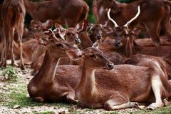 Grupp av hjortar Royaltyfri Fotografi
