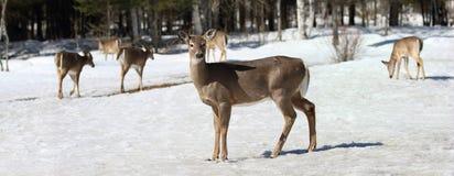 Grupp av hjortar i skog Arkivbilder