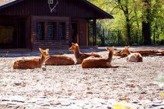 Grupp av hjortar som vilar i en zoo Arkivbild