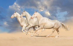 Grupp av hästkörningen Arkivbilder
