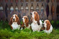 Grupp av hundbassethund som sitter på gräset Arkivfoto