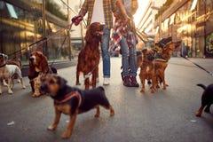 Grupp av hunden som går på koppeln med den yrkesmässiga hundfotgängaren arkivbild