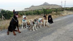 Grupp av 7 hundkapplöpning på en bergväg royaltyfri bild