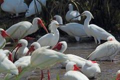 Grupp av ibis och ägretthäger i en Florida våtmarker Royaltyfria Foton