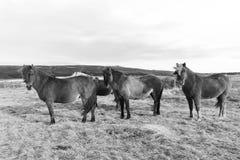 Grupp av Island ponnyer Arkivfoto