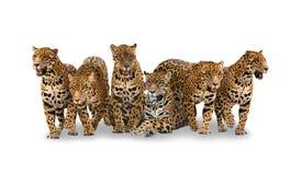 Grupp av jaguar arkivfoton