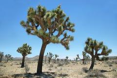 Grupp av joshua träd i Joshua Tree National Park Arkivfoto