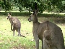 Grupp av kängurumatning