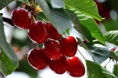 Grupp av körsbär på trädet Royaltyfri Bild