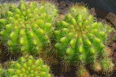 Grupp av kaktuns Arkivfoton
