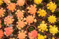 Grupp av kaktuns Royaltyfri Foto