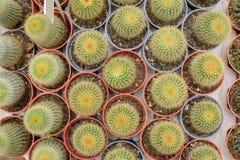 Grupp av kaktuns Arkivfoto