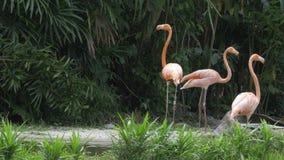 Grupp av karibiska flamingo som går, en tar ett bajs - 4k arkivfilmer