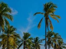 Grupp av kokospalmer i Sri Lanka fotografering för bildbyråer