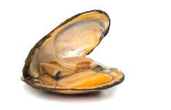 grupp av kokta musslor i isolerade skal Royaltyfria Bilder