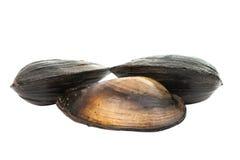grupp av kokta musslor i isolerade skal Arkivfoto