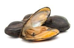 grupp av kokta musslor i isolerade skal Arkivbilder