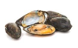 grupp av kokta musslor i isolerade skal Fotografering för Bildbyråer