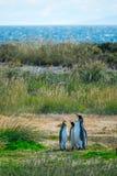 Grupp av konungen Penguins Royaltyfri Fotografi