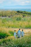 Grupp av konungen Penguins Arkivbilder