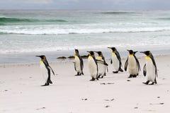 Grupp av konungen Penguins Royaltyfria Bilder