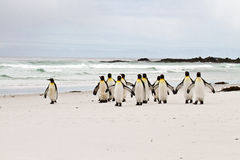 Grupp av konungen Penguins Royaltyfria Foton